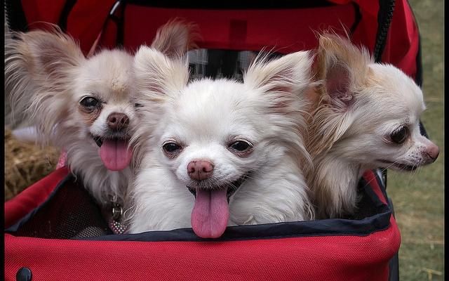 psi v kočárku