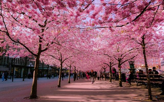 Japonská čerešňa sakura