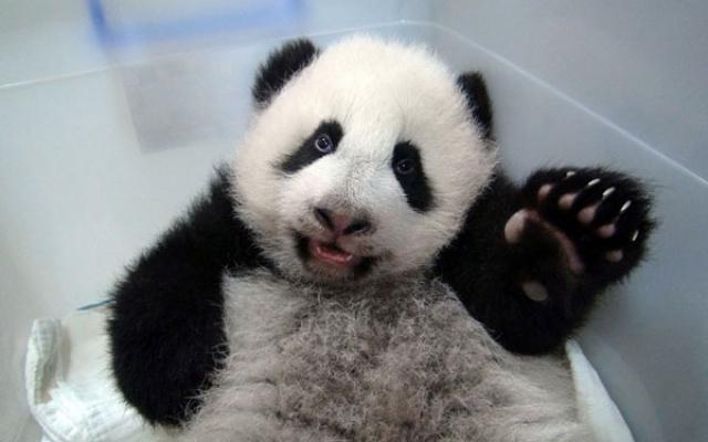 Yuan Zai zdraví své příznivce packou, 30. říjen 2013