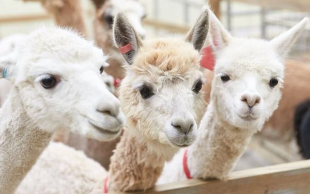 Lamy v Alpaca Worldu