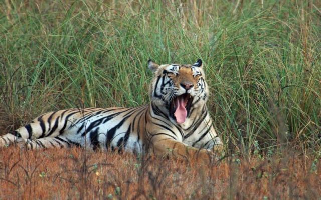 Tygr, Národní park Kanha, Indie