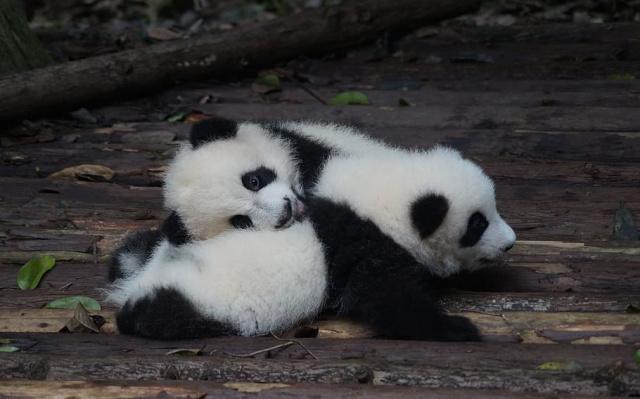 Pandí mláďata