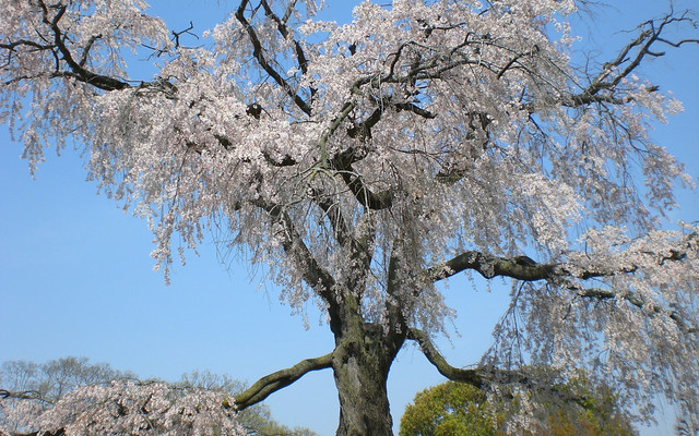 Park Maruyama - třešeň