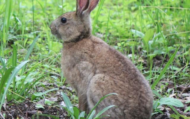 Zajíc japonský (Lepus brachyurus)