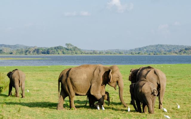 Slon cejlonský