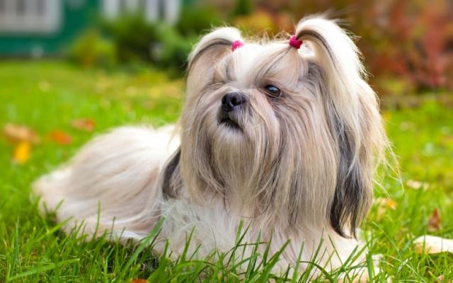 Shih Tzu ležící na trávě