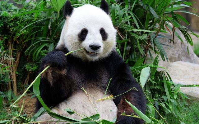 Mládě pandy velké