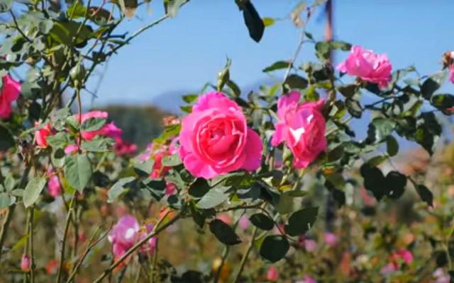 Růže z parku v Samcheoku
