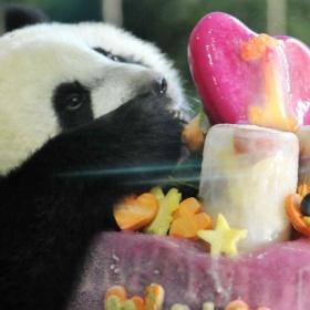 Panda si pochutnává na dortu